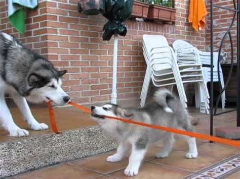Funny Alaskan Malamutes puppies playing tug a war with