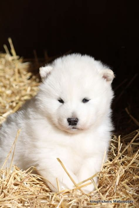 Goliath | Alaskan malamute puppies